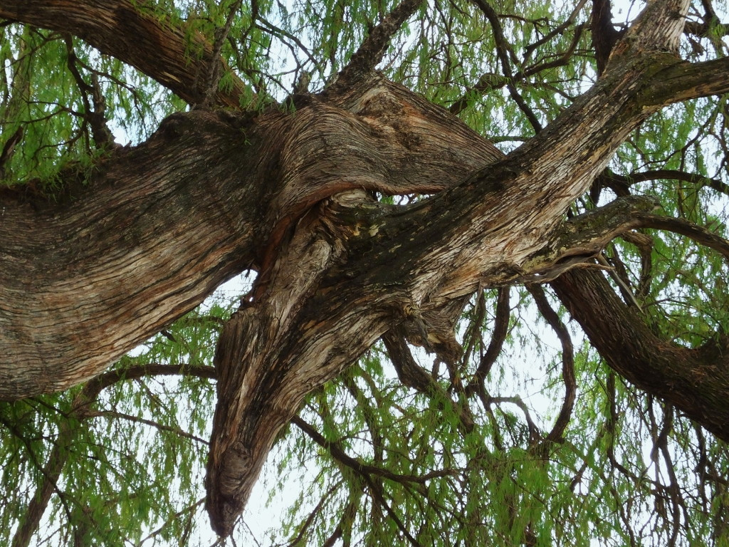 Branches of the Tule Tree