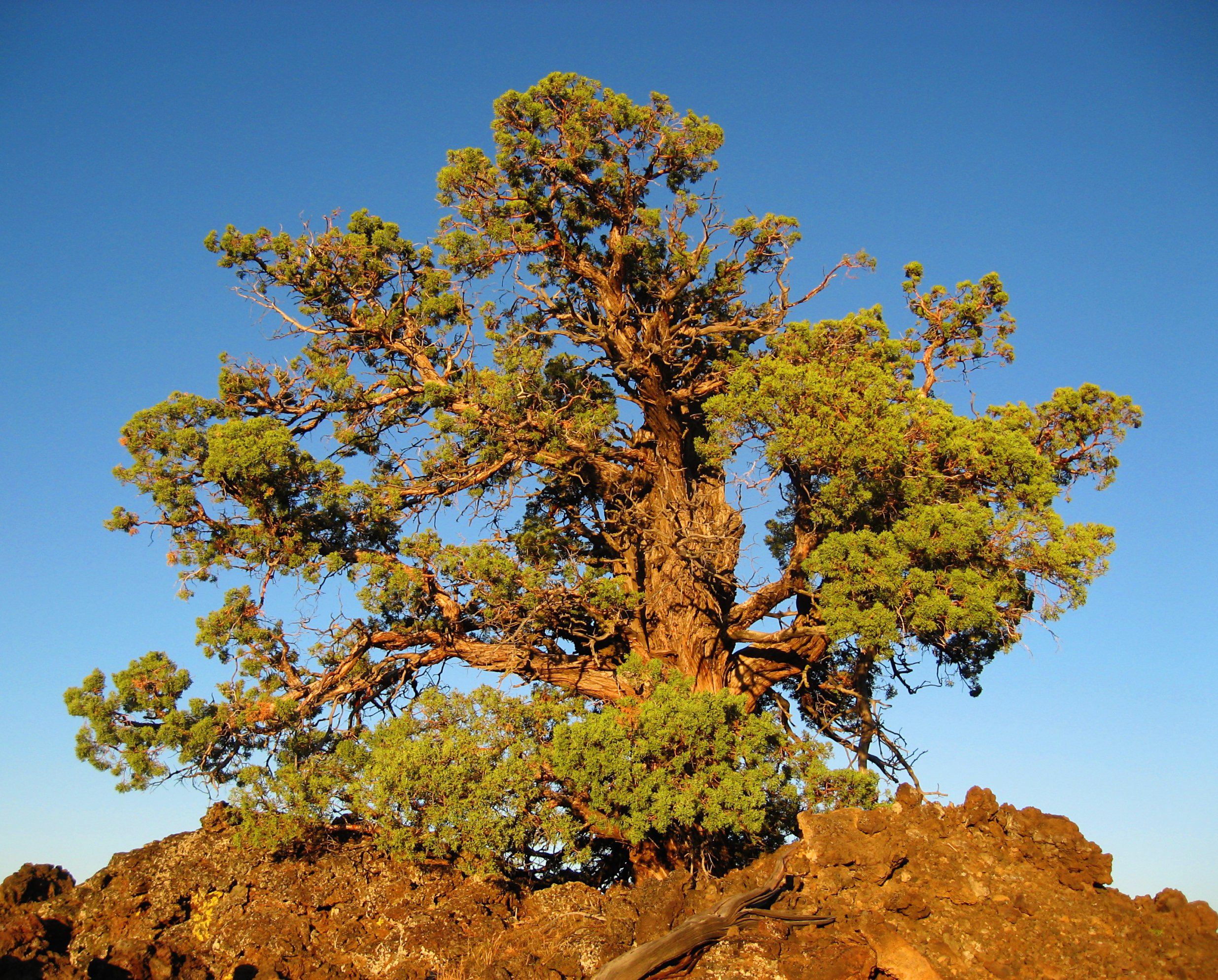 Sunset Juniper