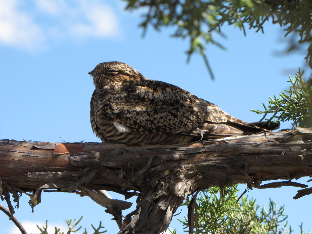 Female Nighthawk in a Tree