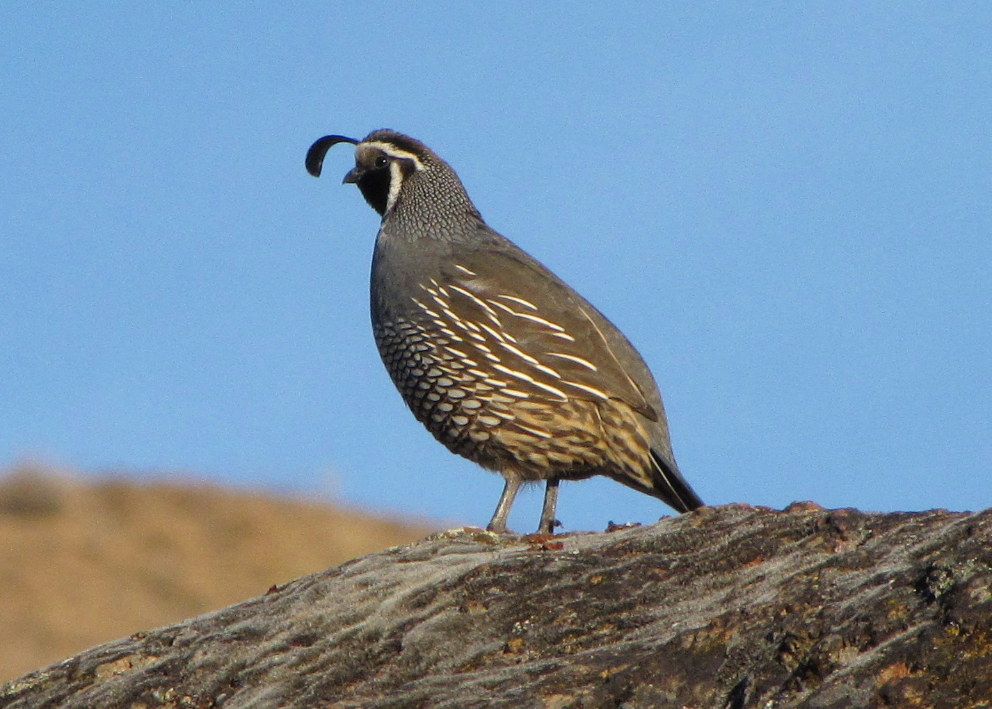 Quail on a Rock