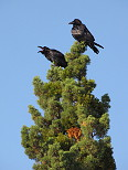Ravens in a Tree