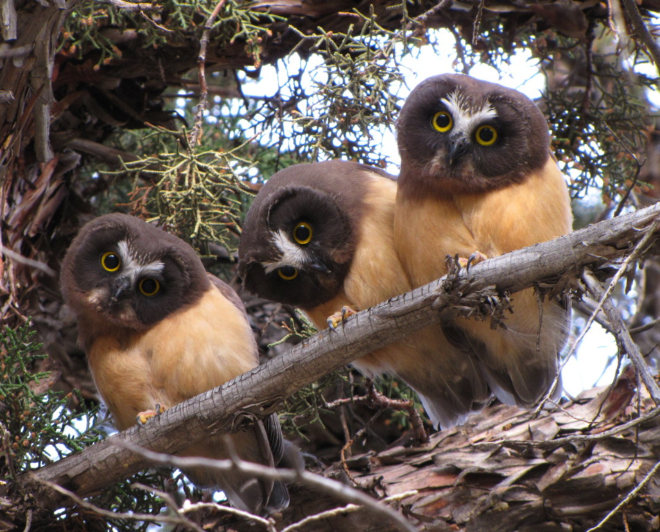 Three Juvenile Saw Whet Owls
