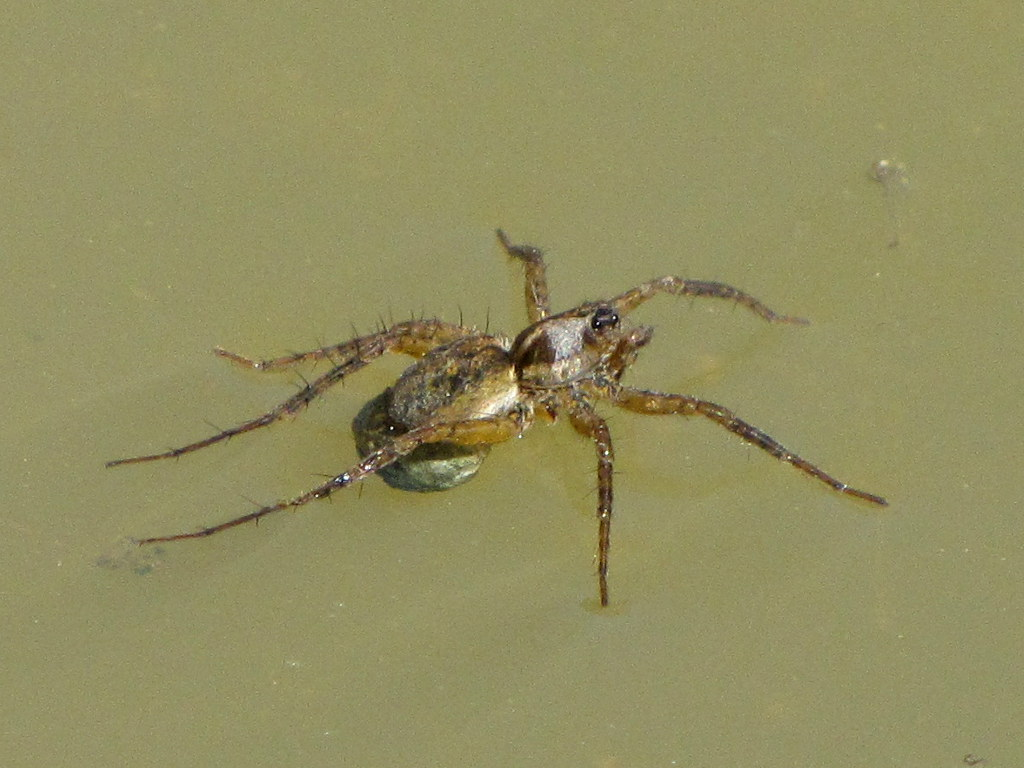 Fishing Spider with Egg Sack