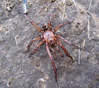Giant Pedipalps