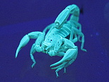 Scorpion in Ultraviolet