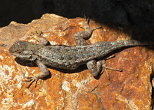 Western Fence Lizard on a Red Rock